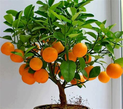 tree with small orange fruit 25 best ideas about bonsai fruit tree on