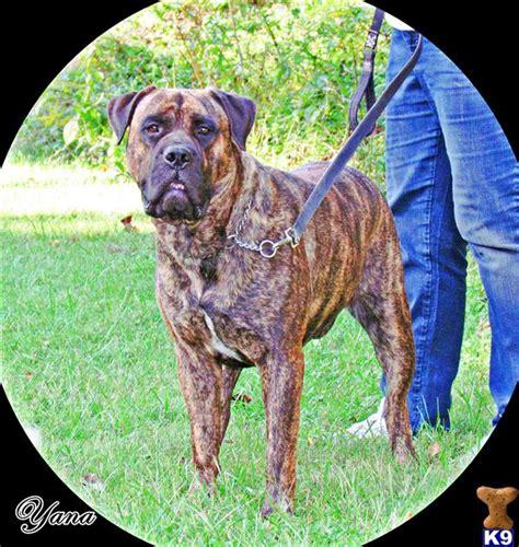 mastiff puppies oregon puppies for sale in oregon brindle mastiff puppies for sale breeds picture