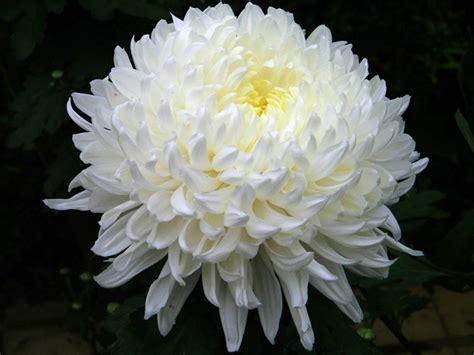 significato fiore crisantemo significato significato fiori crisantemo