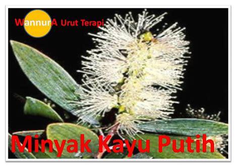 Minyak Kayu Putih Di Malaysia minyak urut wannura wannura terapi