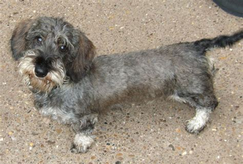 wire haired dachshund puppy mini wirehaired dachshund puppy mansfield nottinghamshire pets4homes