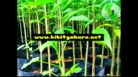 Jual Bibit Cendana Ntt jual bibit gaharu ke ngada ntt 081251826868 pt borneo nusantara internasional agarwood