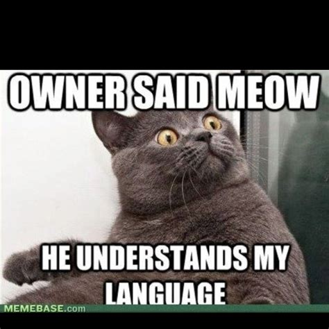 Shocked Cat Meme - shocked cat grey cat with the scandalized yellow eyes