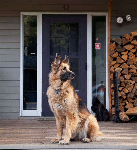 best dog to guard house how to protect your home from being burgled good