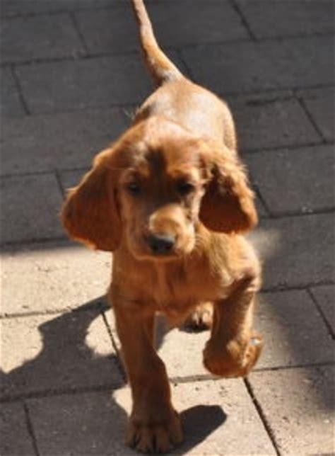 irish setter dog walker irish setter puppy walking on the street png