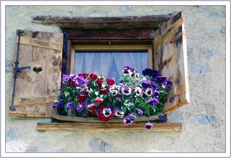 foto di fiori viole viole pensiero immagini significato viole pensiero foto 4