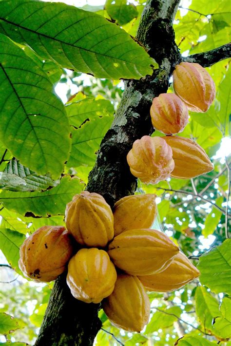 cocoa tree fruit 42 best images about cacao pods on trees