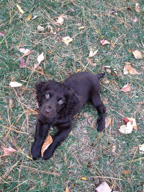 boykin spaniel puppies for sale in sc the 25 best boykin spaniel puppies ideas on boykin spaniel