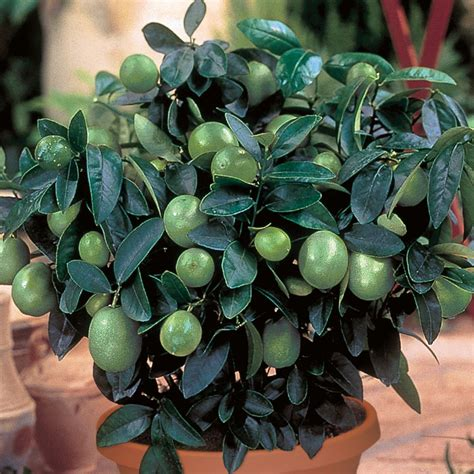 key lime trees citrus trees stark bros