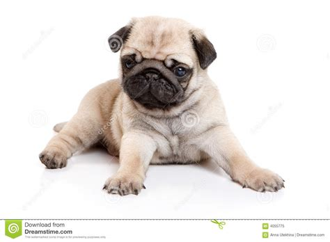 pug no pug no fundo branco imagem de stock imagem de animal 4055775