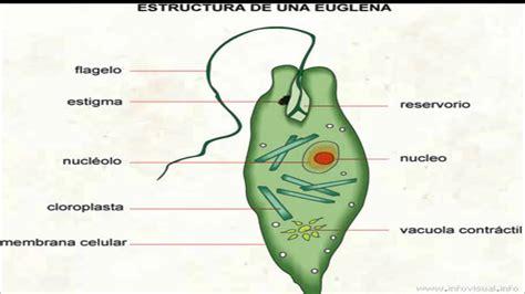euglena diagram image gallery euglena parts