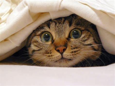 cat hiding under bed who else wants to hide out under a blanket all day