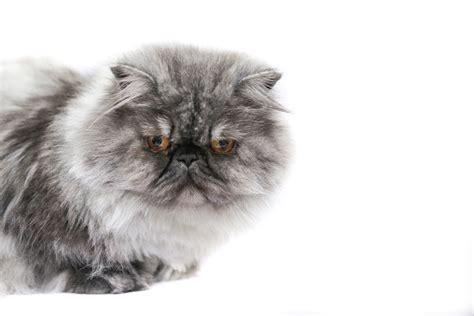 alimentazione gatto persiano gatto persiano mangia cibo secco 232 normale tutto ze