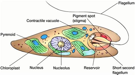 euglena diagram euglena diagrams diagram site