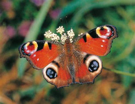 mariposas de espaa y mariposas obligadas a volar m 225 s lejos y m 225 s alto sociedad el pa 205 s