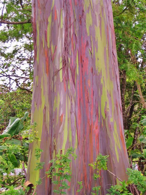 rainbow eucalyptus rainbow eucalyptus hawaii the big island pinterest