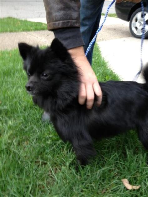 found pomeranian found black pomeranian or pom mix michigan humane society