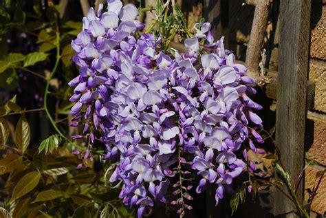 fiori glicine significato glicine significato fiori significato