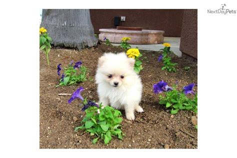 teacup pomeranian puppies california pomeranian puppy for sale near san diego california