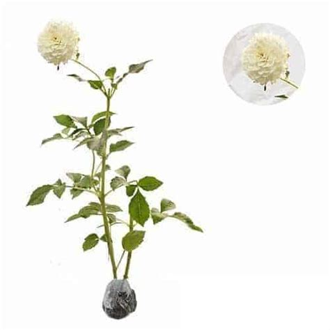 Jual Beli Bibit Bunga Dahlia jual tanaman dahlia mini white bibit
