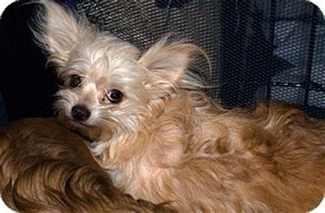 yorkie rescue indiana westfield in yorkie terrier mix meet trixie a for adoption