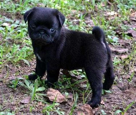 black teacup pug black teacup pugs www pixshark images galleries with a bite
