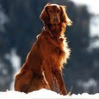 irish setter dog characteristics dog breeds irish setter temperament and personality