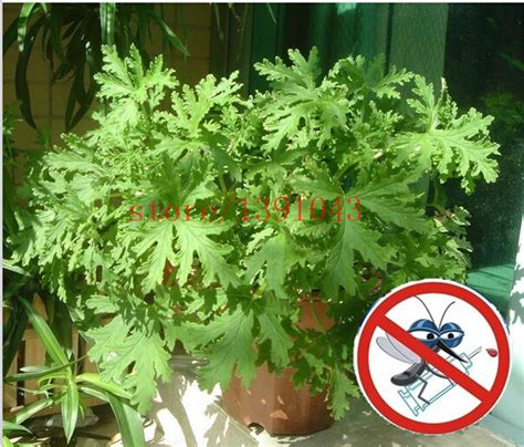 100 pcs riddex plant seeds mosquito repelling grass mozzie buster sweetgrass garden home