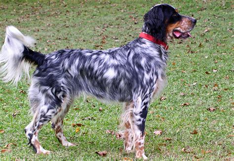 luellen setter dog east coast llewellin setters breeder of llewellin setters