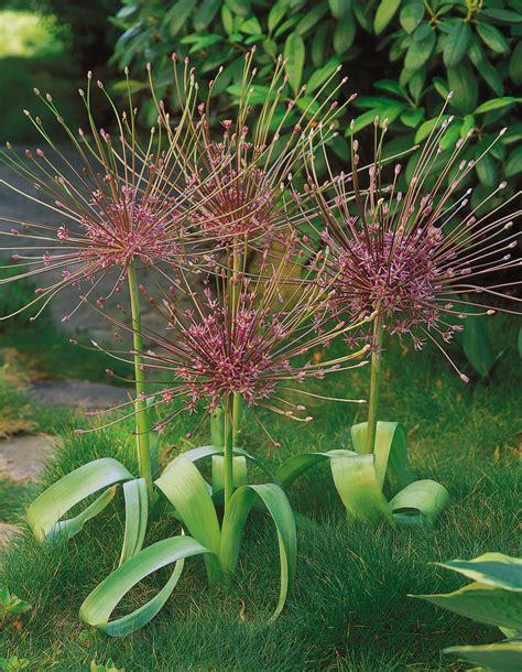 the allium species ohio gardener hot plants