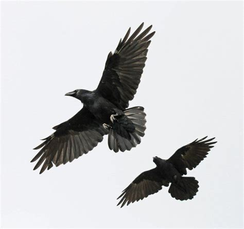 25 best crows images on pinterest