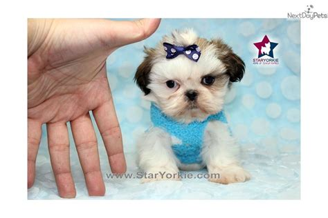 teacup shih tzu price shih tzu puppy for sale near los angeles california d3d814fb 4a51