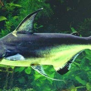 Makanan Ikan Hias Patin gambar jenis ikan patin beserta gambarnya pangasius