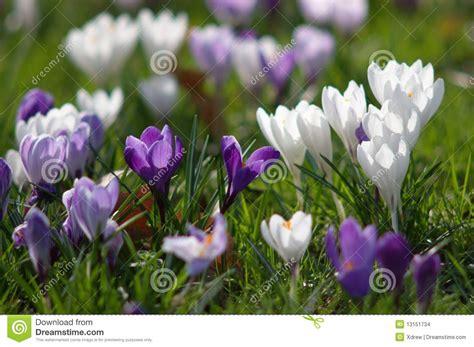 fiore croco fiore dei croco fotografia stock immagine di botanica