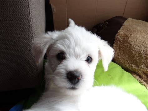 bichon frise x yorkie bichon frise x terrier puppies west bromwich west midlands pets4homes