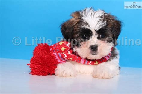 teddy puppies for sale near me destiny teddy shichon puppy for sale near columbus ohio d172c414 5581