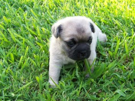 what country do pugs come from pugs pugapoos for sale adoption from sherman dallas adpost classifieds