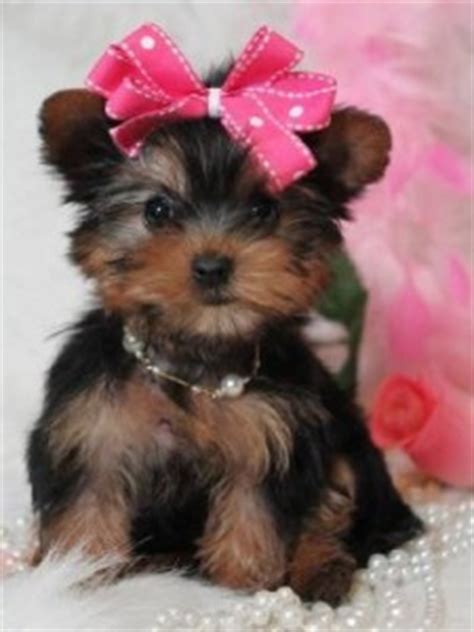 adorable teacup yorkie puppies for adoption dogs rancho nm free classified ads