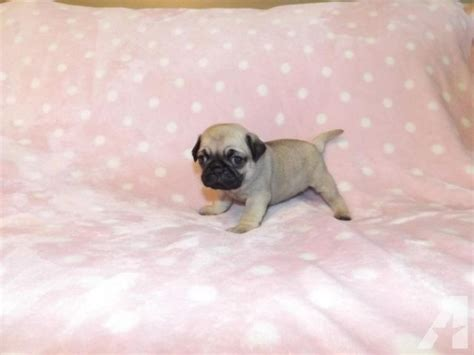 pug breeders in missouri teacup pug puppies for sale