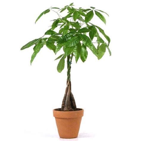 large braided money tree indoor office plants by money trees terracotta pot from easternleaf com