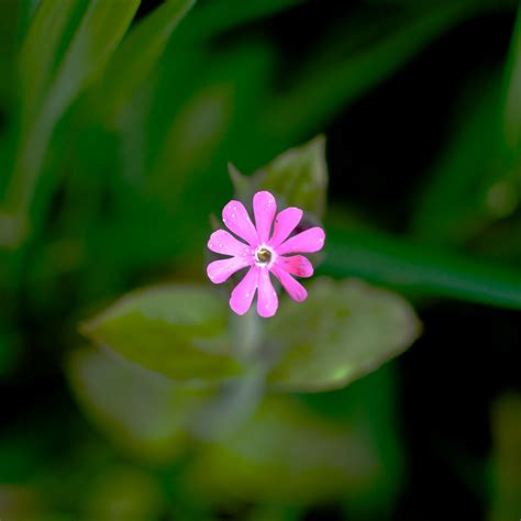 small flower plants small pink flower pigpog