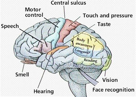 sections of the brain and what they control wizardofbaum left brain and right brain functions