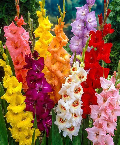 gladioli fiori acquista gladioli grandiflora bakker