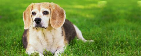 s disease in dogs nhv pet products
