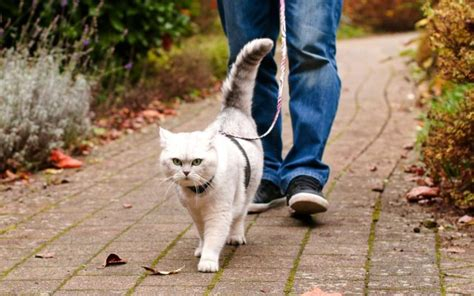 how to an on a leash how to walk a cat on a leash purrfect cat breeds