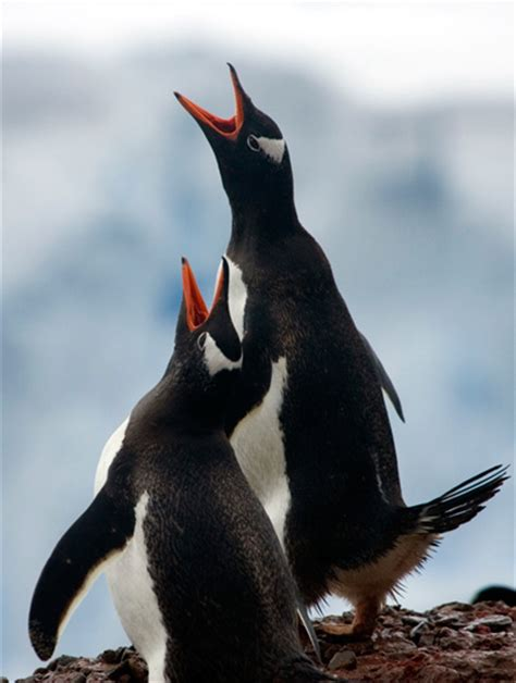 Gentoo penguin | TravelWild Expeditions