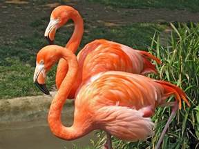 what color are flamingos flamingo facts food turns feathers pink