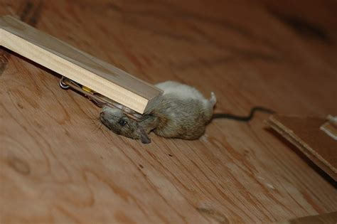 How To Get Rid Of Mice In Ceiling by How To Get Rid Of Mice In Ceiling And Walls Www