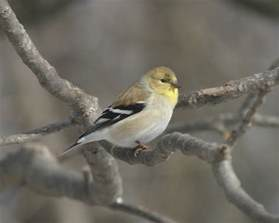 ohio bird photo collection american goldfinch