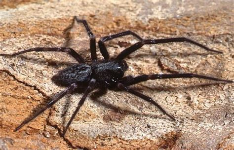 australian house spider male black house spider australian museum